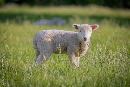 Fototapeta Cute lamb with pink ears in field