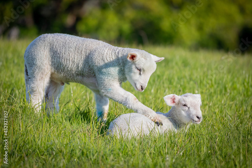 Obraz na plátně Gorgeous lambs together in field coaxing to play