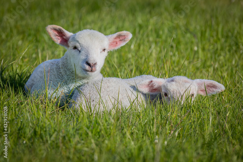 Fototapeta Gorgeous lambs together in field