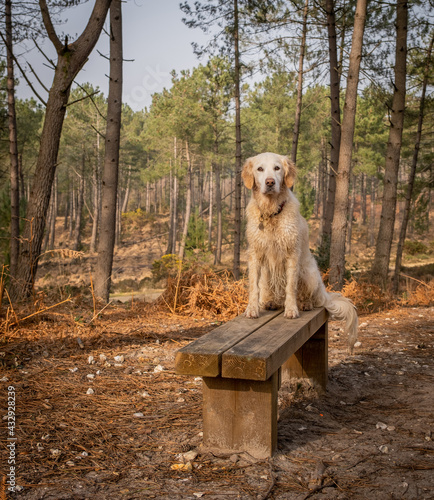 Fotografie, Obraz Pet golden retriever dog in the pine forest on a bench seat