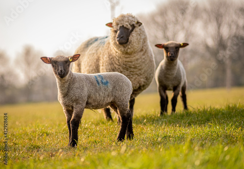 Fototapeta sheep with lambs in orchard field