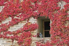 Japanese Creeper In Autumn
