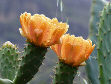 Close Up Of An Cactus With Wet Orange Flowers With Druplets From The Rain.