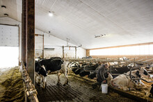 Farmer Feeding Cows In Cowshed
