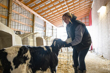 Female Farmer Feeding Milk To Calf In Cowshed