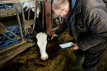 Farmer Checking Ear Tag On Cow In Cowshed