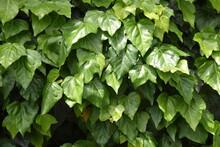 Japanese Ivy.  Vitaceae Deciduous Vine .