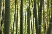 竹の密集した竹林
