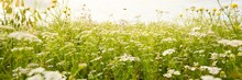 Wildflowers Close-up. Panoramic View Of The Blooming Chamomile Field. Dramatic Cloudscape. Floral Pattern. Setomaa, Estonia. Environmental Conservation, Gardening, Alternative Medicine, Ecotourism