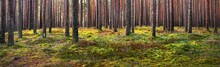 A View Of The Evergreen Forest After Morning Fog, Ancient Tall Pine Trees Close-up. Moss On The Ground. Sunlight Through The Tree Trunks. Misty Landscape. Estonia