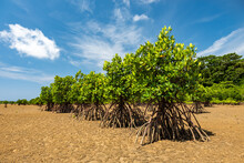 Lush Green Mangroves In Single File Showing Their Roots In The Sands At Low Tide. Blue Sky And Mangrove Forest In The Background. Iriomote Island.