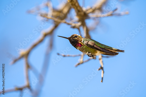 Naklejka premium Hummingbird sitting on a branch, Close-up