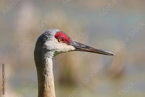 Naklejka premium Sandhill Crane Bird Close Up