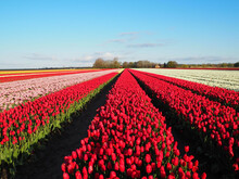 Bright Blue Sky Above Rows Of Vibrant Red Tulip Flowers In A Field