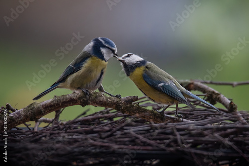 Fotografie, Obraz pair of blue tits at the feed handover at the feeding station