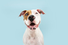 Happy American Staffordshire Dog Smiling. Isolated On Blue Background