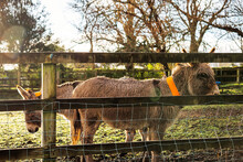 Couple Of Brown Donkey Behind Wooden Fence. Farm Animals In A Meadow Enclosure. Warm Sunny Day. Beautiful Domestic Pets Concept