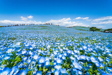 A Sea Of 4.5 Million Baby Blue Eyes In Hitachi Seaside Park, Hitachinaka, Ibaraki.