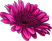 Red Daisy Vector Illustration. Hand-drawn Beautiful Flower With Wonderful Shades.