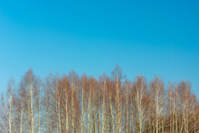 The Tops Of Birch Trees And Blue Sky