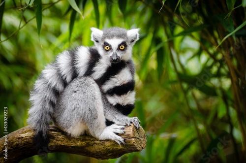 Naklejka premium ring lemur