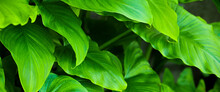 (Selective, Soft Focus) Close-up View Of Some Arum-lily Leaves Forming A Green Natural Background. Zantedeschia Aethiopica, Commonly Known As Calla Lily, Is A Species In The Family Araceae.