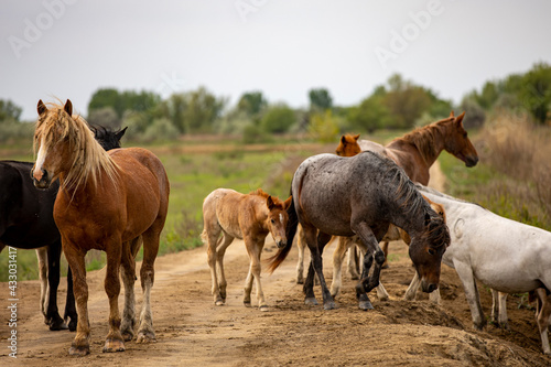 Tela horses and foals in nature