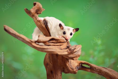 Naklejka premium Sugar Glider sitting on a tree