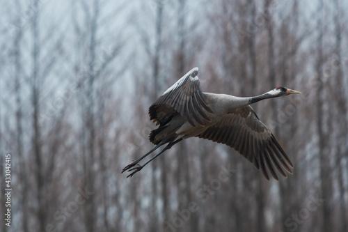 Naklejka premium crane in flight during mating season