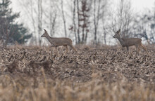 A Pair Of Deer In The Stubble