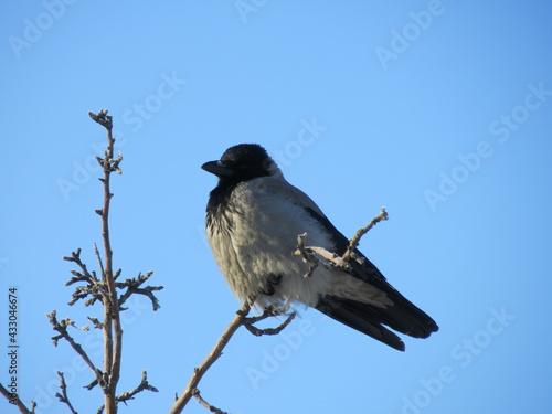 Naklejka premium The crow