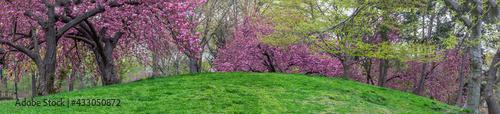 Fotografering Japanese cherry tree in spring
