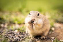 A Little Ground Squirrel Eats Goodies In A Meadow.