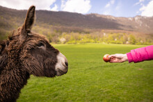 A Hungry Donkey Goes To Enjoy A Juicy Apple.