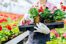 Unrecognizable Woman Gardener In Grey Apron Holding A Plastic Box With Geranium Flowers Seedling Flowers In A Greenhouse.