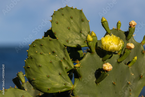 Fototapeta Flor do cacto palma.