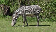 Zebra Grazes On The Grass