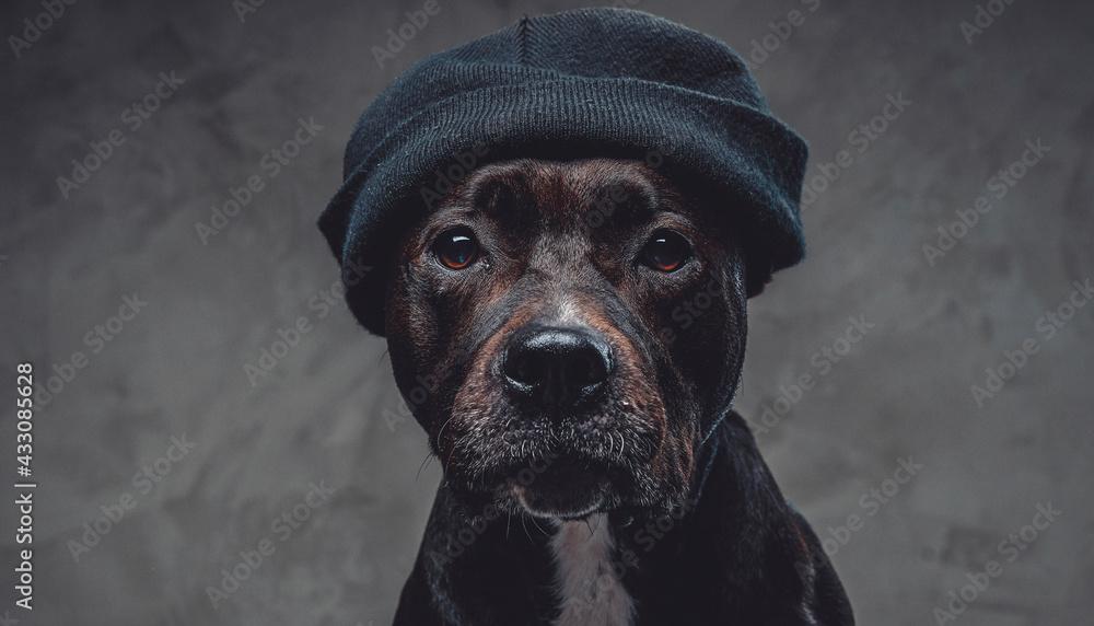 Leinwandbild Motiv - Fxquadro : Stylish dog bull terrier breeds wearing hat