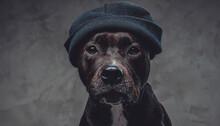 Stylish Dog Bull Terrier Breeds Wearing Hat