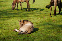 Equus Ferus Ferus Perissodactyla Equidae A Wild Horse Foal Lies Next To A Herd On A Green Meadow With Sunlight And Shadows