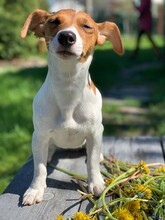 Jack Russell Terrier Dog Sits On A Bench.