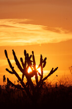 Silhouetted Cactus At Sunset. Typical Scene From The Northeast Region Of Brazil.