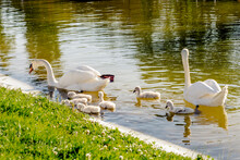 Family Of Swan With Six Chicks Swimming At Sunset. Peaceful Scene