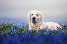 Golden Retriever Dog Lying Down On A Field Of Blue Flowers In Summer