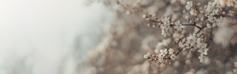 Beautiful floral spring abstract nature background with blooming cherry tree branches on background, landscape panorama, copy space.