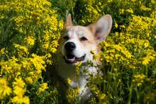 Corgi Dog In Meadow Flowers