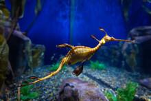 Sea Dragon Swimming