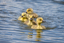 Group Of 4  Cute Canada Geese Chicks Swimming In Line On Lake
