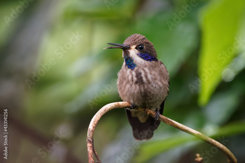 Naklejka premium Brown Violet-ear - Colibri delphinae large hummingbird, bird breeds at middle elevations in the mountains in Central America, western and northern South America, Trinidad and in Brazilian state Bahia
