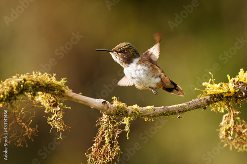 Naklejka premium Volcano Hummingbird - Selasphorus flammula very small hummingbird which breeds only in the mountains of Costa Rica and Chiriqui, Panama. Flying bird, bird in flight